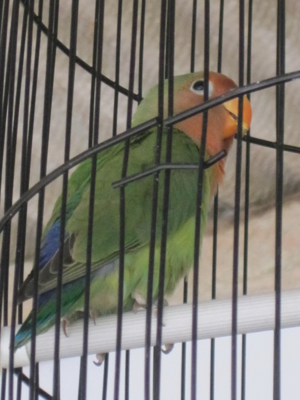 lovebird5