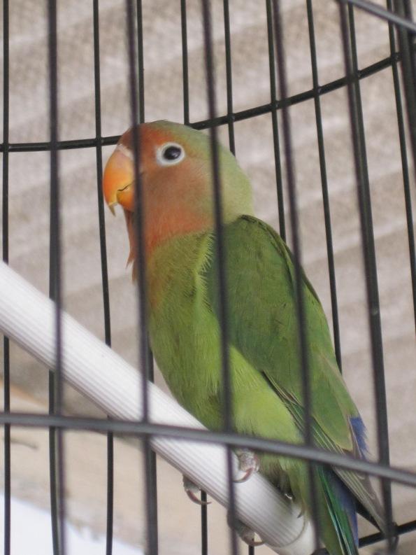 lovebird8