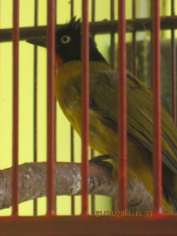 gold finches2